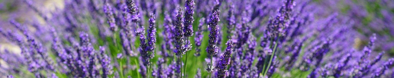 lavender-field-1595587_1920