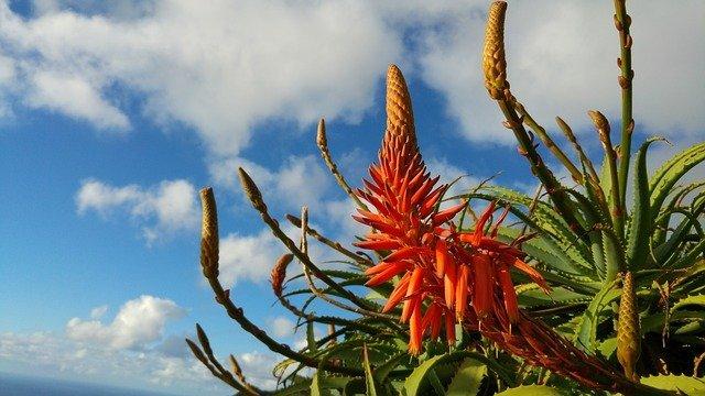 Proprietà e benefici della Aloe vera.