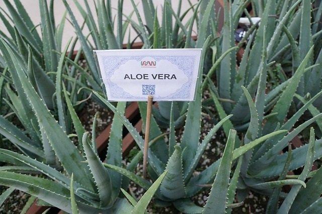 Le piantagioni di aloe vera ricca di proprietà e benefici.